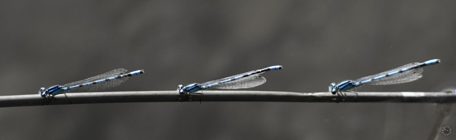 Dragonfly chain