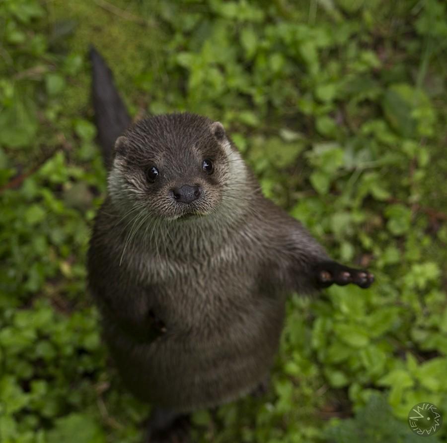 Otter, Nationalpark Bavarian Forest