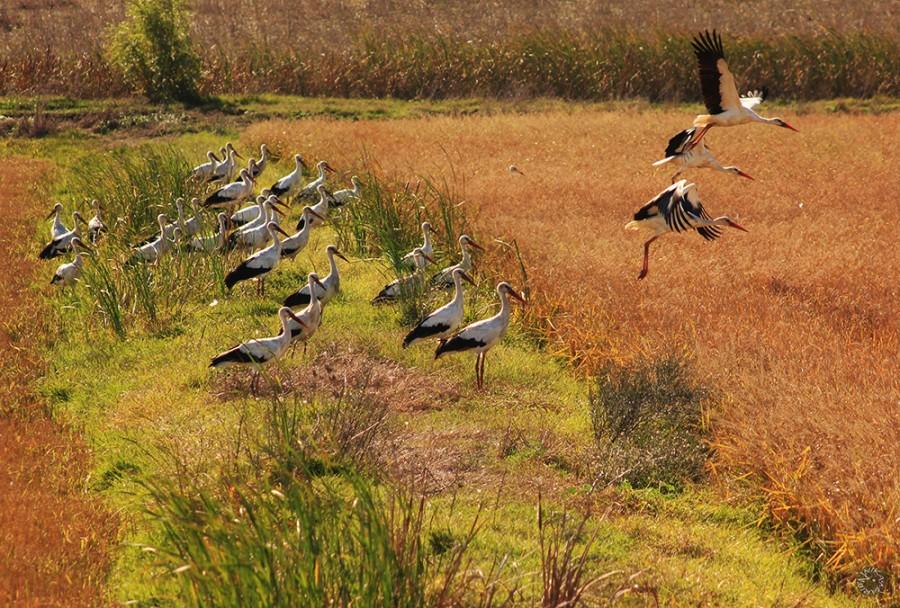 White storks, La Janda, Spain