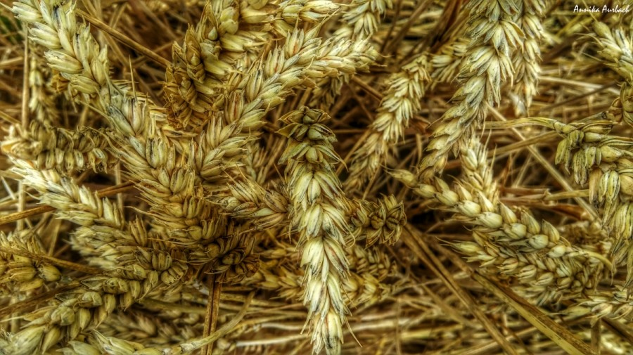 Wheat, Germany, HDR