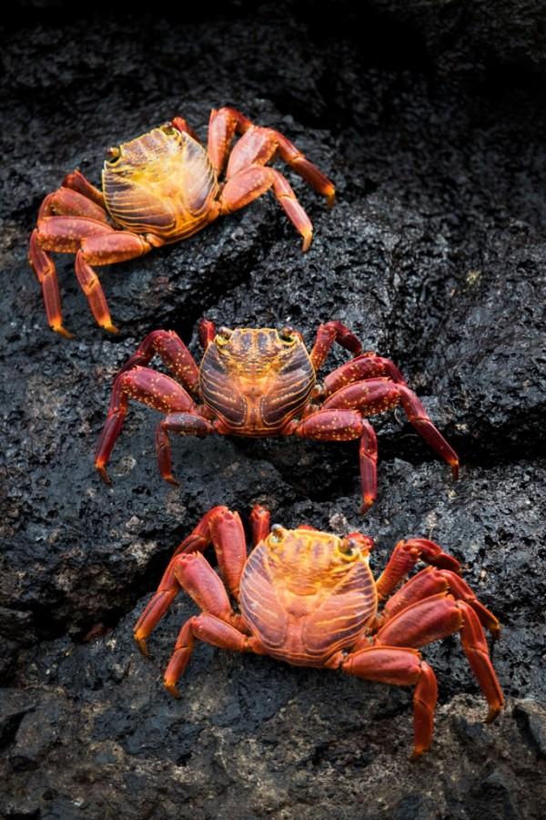 Red rock crab (Grapsus grapsus)