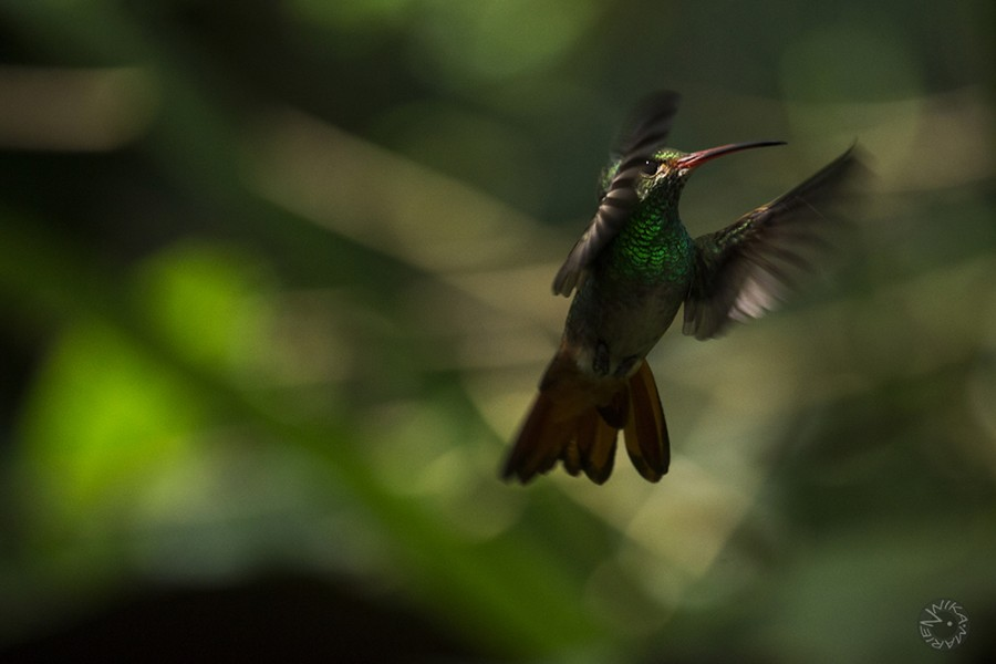 Kolibri Ecuador
