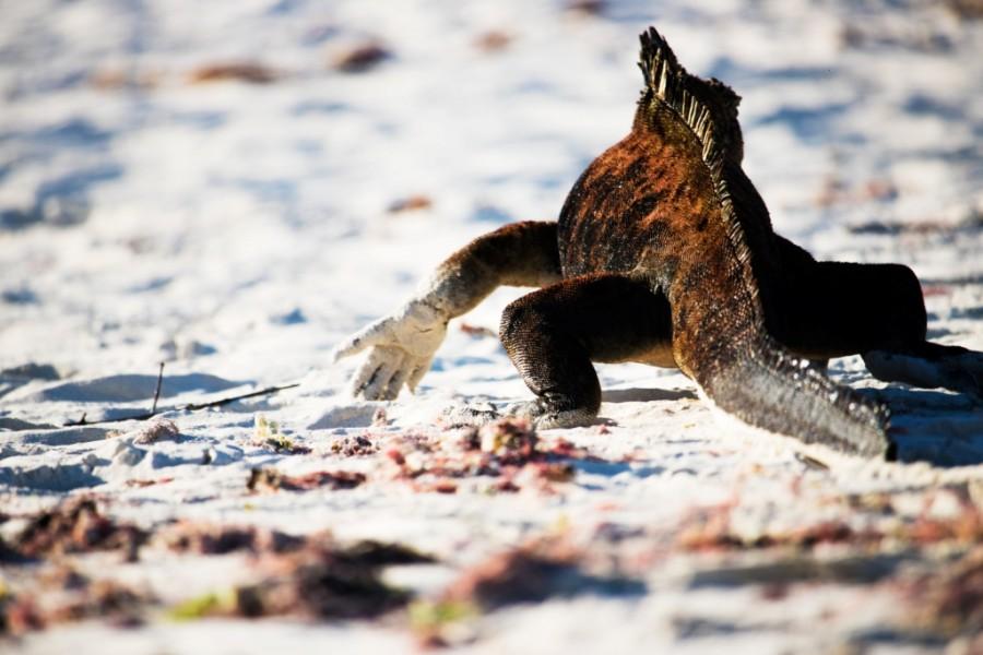 Marine Iguana (Amblyrhynchus cristatus) (Galapagos)