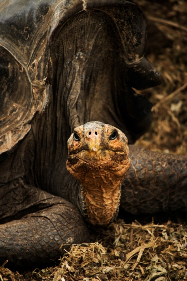 Galapagos land turtle