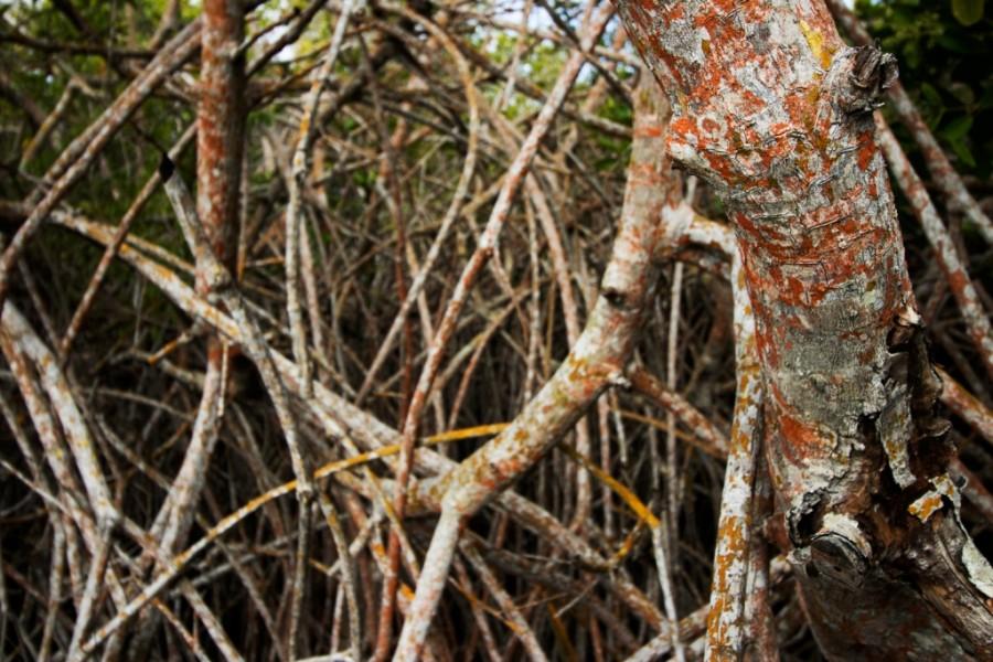 Mangroves Galapagos