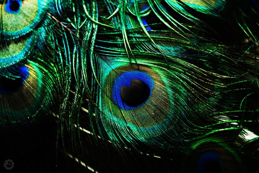 Indean Peafowl (Pavo cristatus)