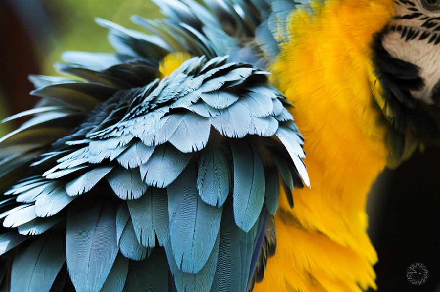Parrot feather Ecuador