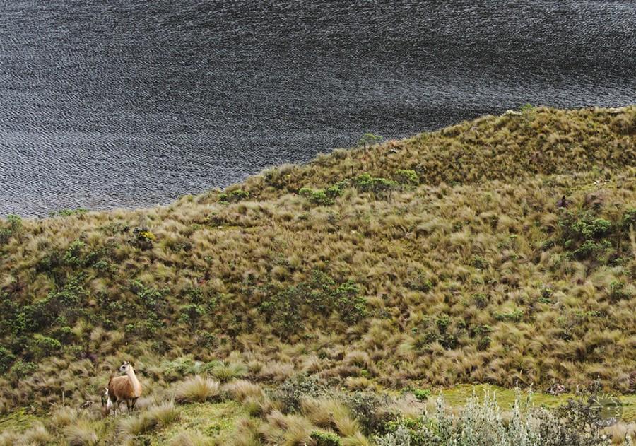 Llama in El Cajas Nationalpark Ecuador