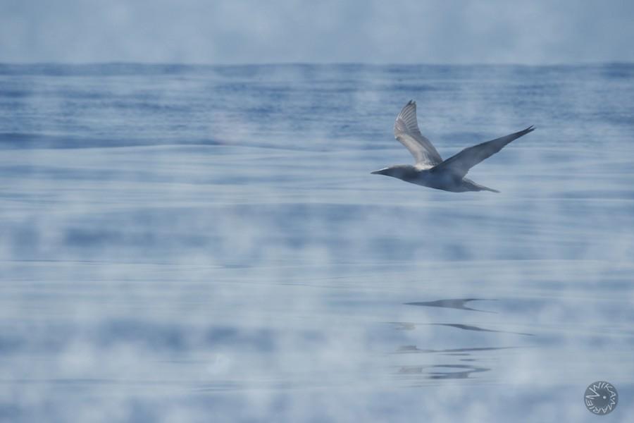 Blue footed booby (Sula nebouxii) Isla de la Plata Ecuador