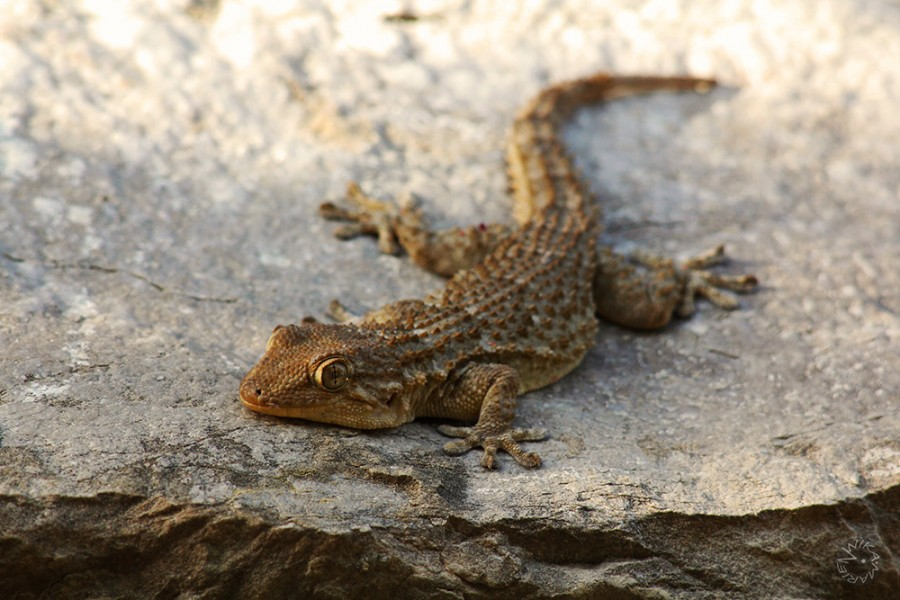 Gecko Spain