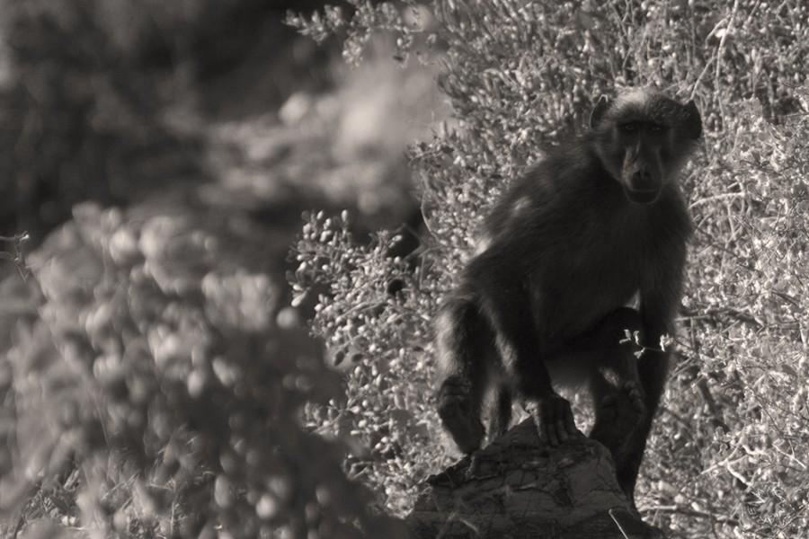 Pavian Namibia Africa