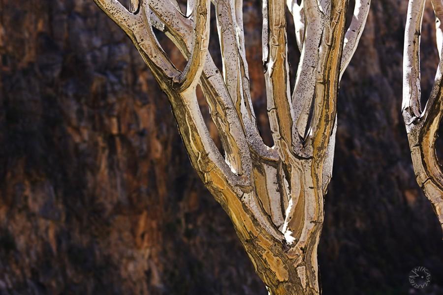 Quiver tree (Aloe dichotoma), Namibia