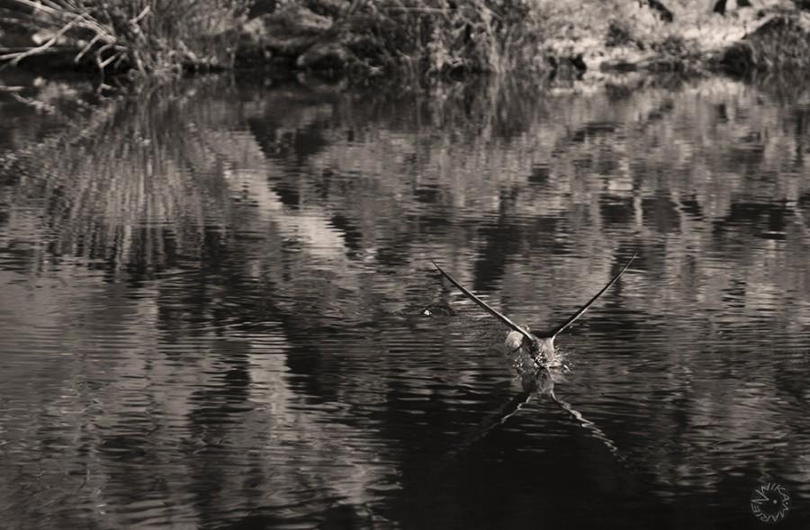 Drinking Swallow (Riparia XX), Namiba