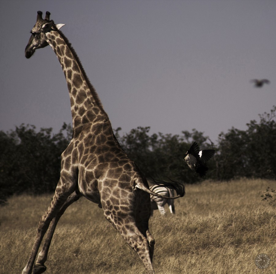 Baby giraffe playing with duck Namibia