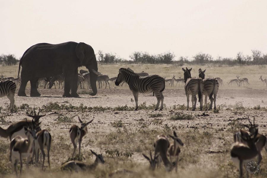 Elefants Zebra Springbock at Etosha waterhole Namibia