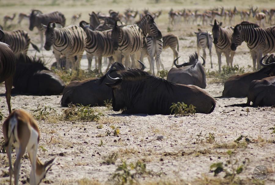 Buffalo and Zebras at Etosha waterhole, Namibia, Africa