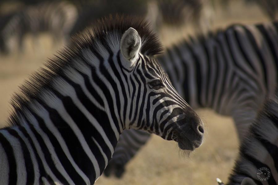 Zebra (Equus guagga) in Etosha, Namibia, Africa
