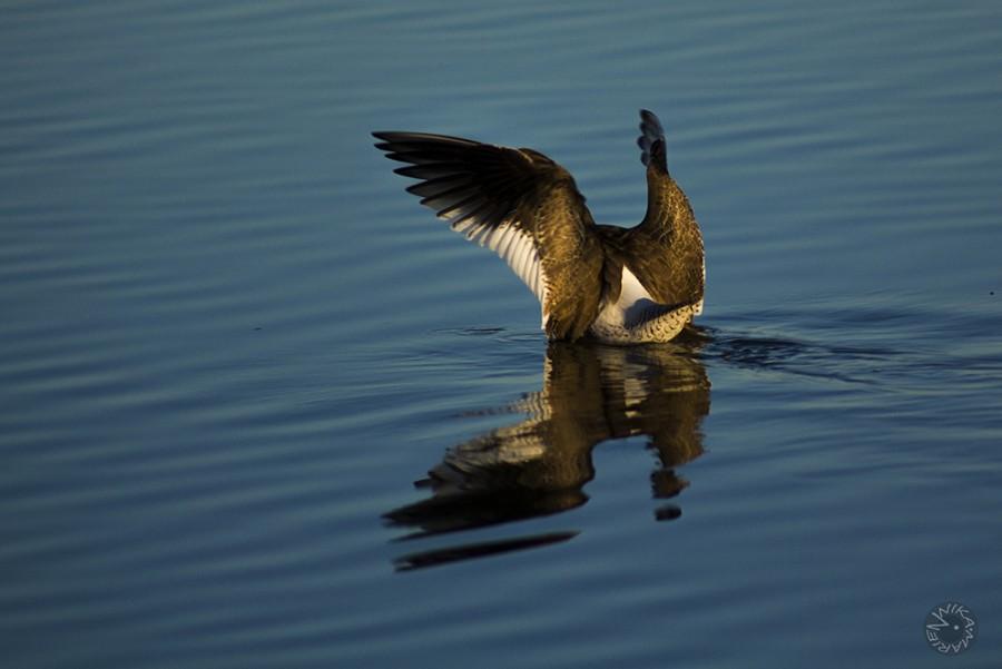Redshark (Tringa totanus), Donana, Spain