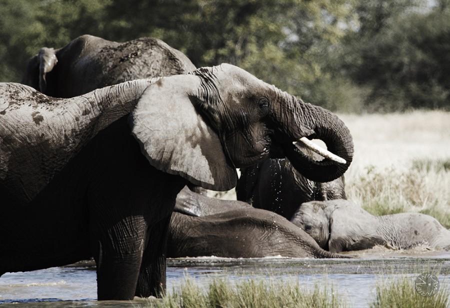 Elefant, Etosha, Namibia, Africa