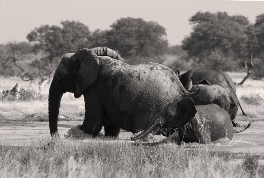 Desert elefants playing in Etosha s waterhole, Namibia, Africa