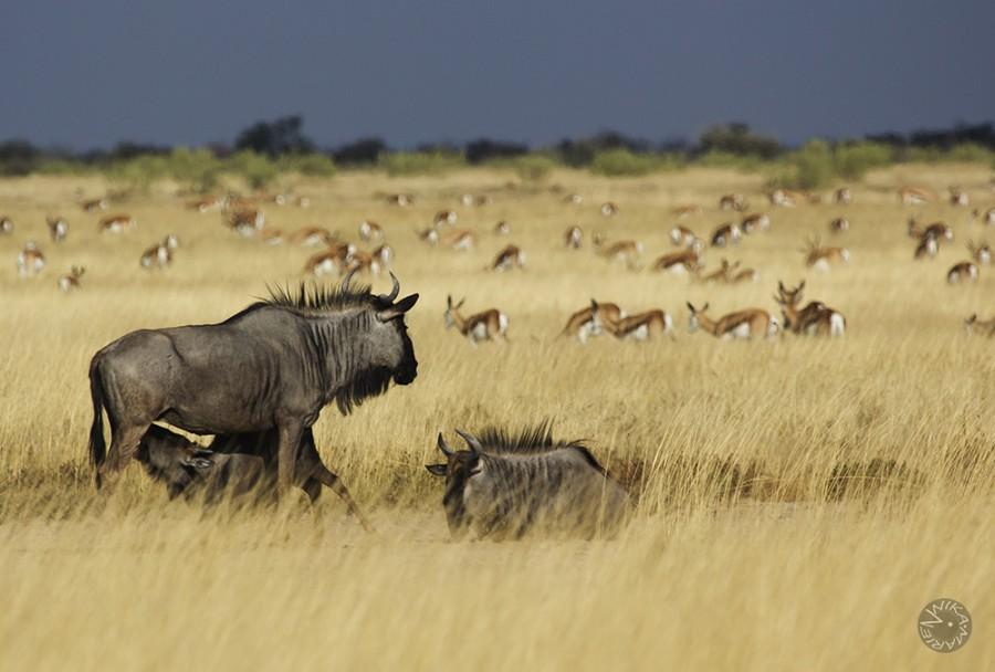 Buffalo family, Etosha, Namibia