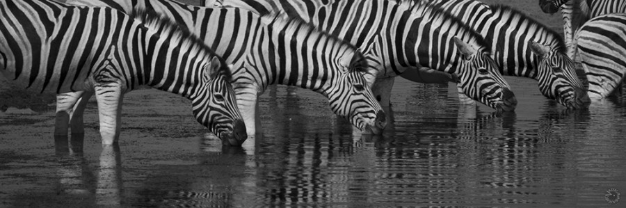 Zebra drinking in Etosha, Namibia