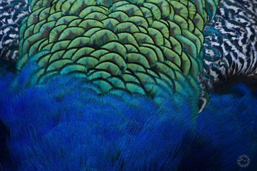 Peafowl plumage