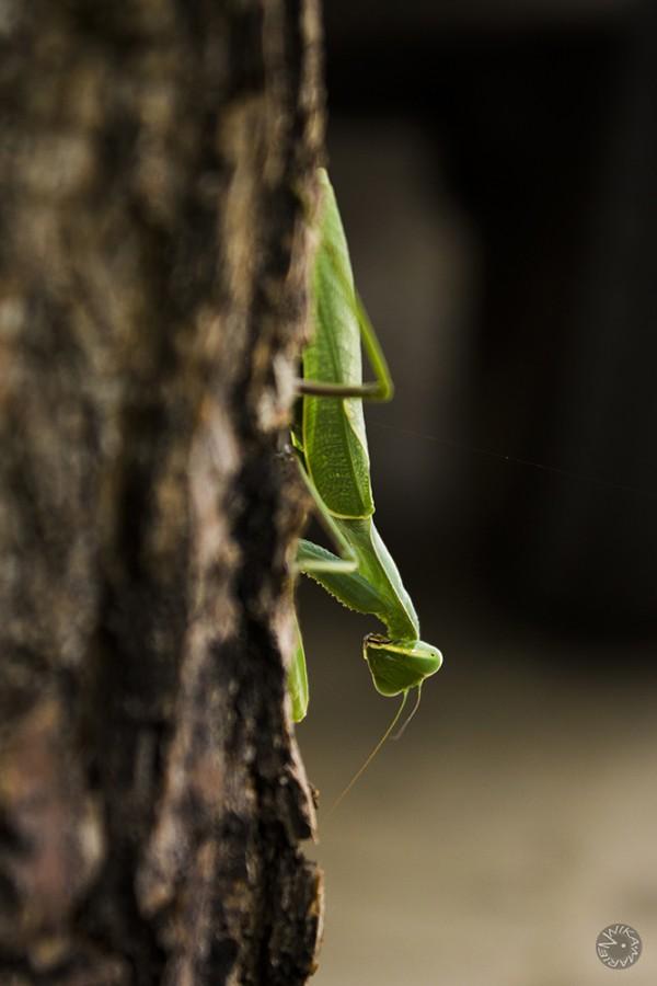 Mantis, Namibia