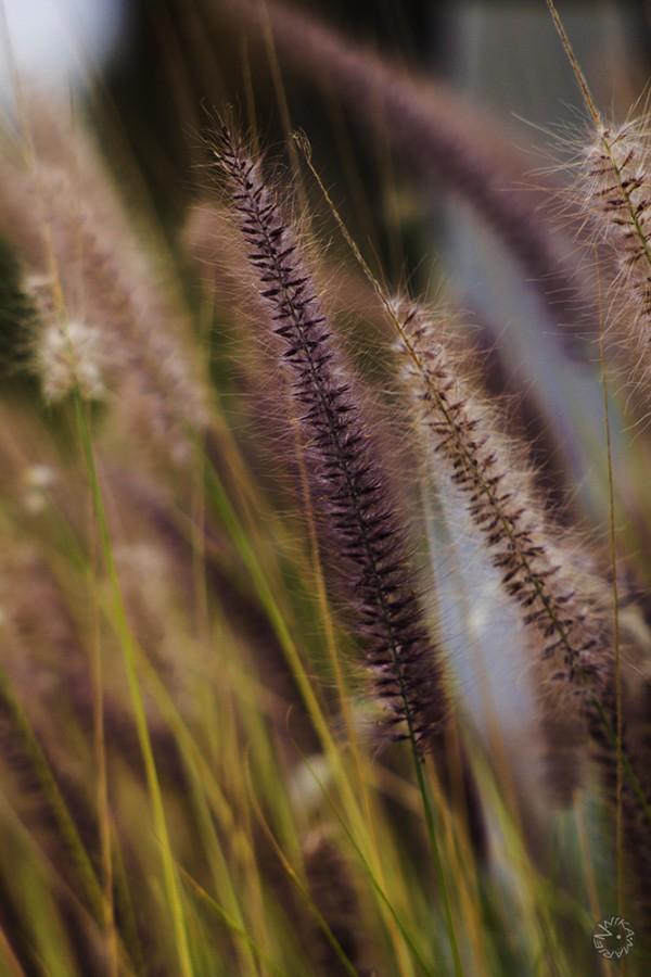 Lila gras, Namibia