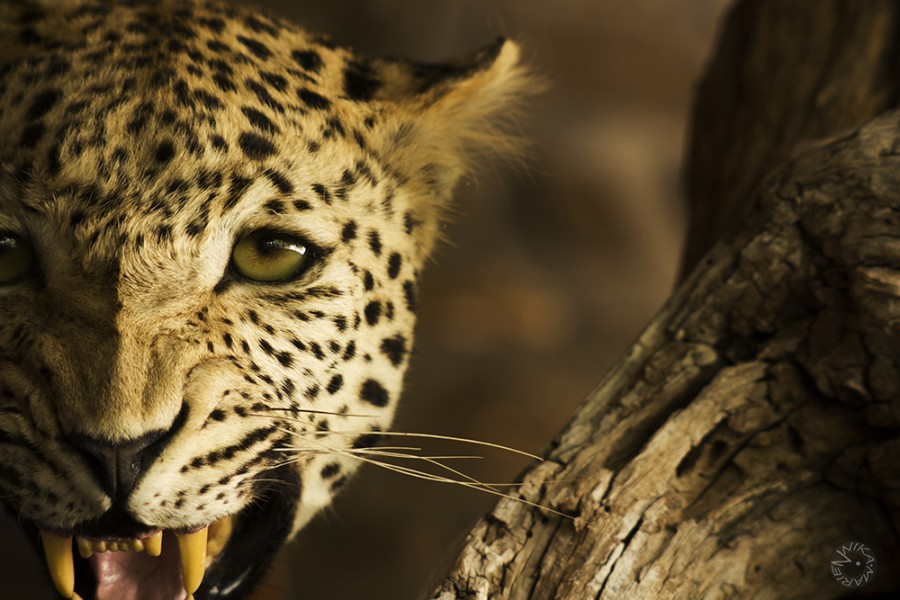 Lepard, Namibia
