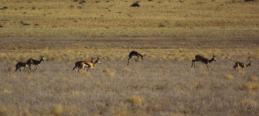 Springbock family in Namibia