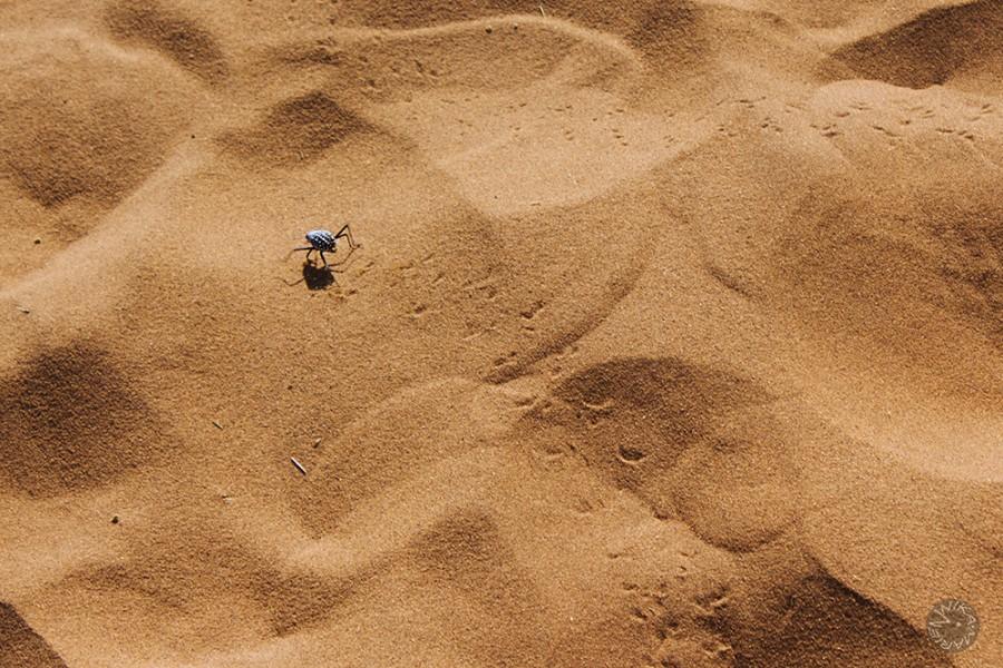 Sandbeetle, Namibia