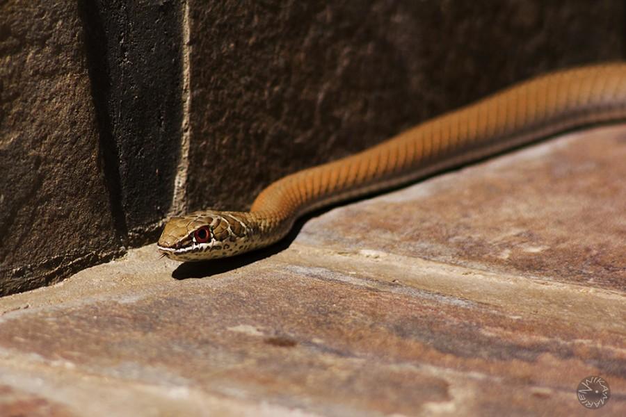 Grassnake (Psammophis spec.), Namibia